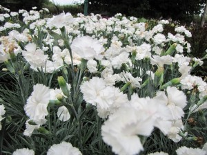 "Goździk postrzępiony Dianthus plumarius ""Angel of Purity"""